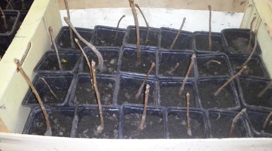 Podela sadnica ginka 1