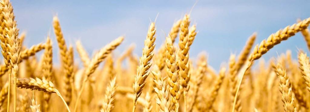 Kad ne rodi pšenica, ne valja, a kad rodi još je gore