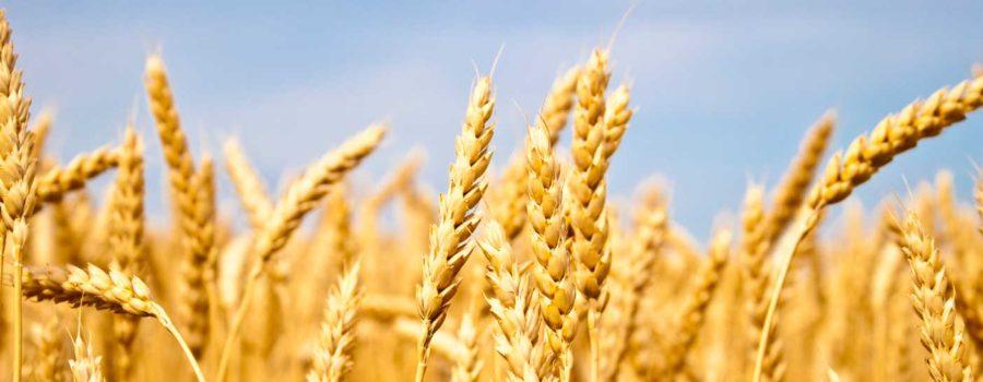 Blog: Kad ne rodi pšenica, ne valja, a kad rodi još je gore