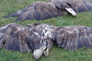 Masovno trovanje divljih životinja u Sremu