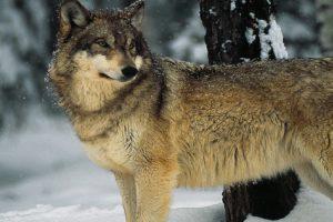 Blog: Zaustaviti hajku na vukove u Nacionalnom parku Đerdap!