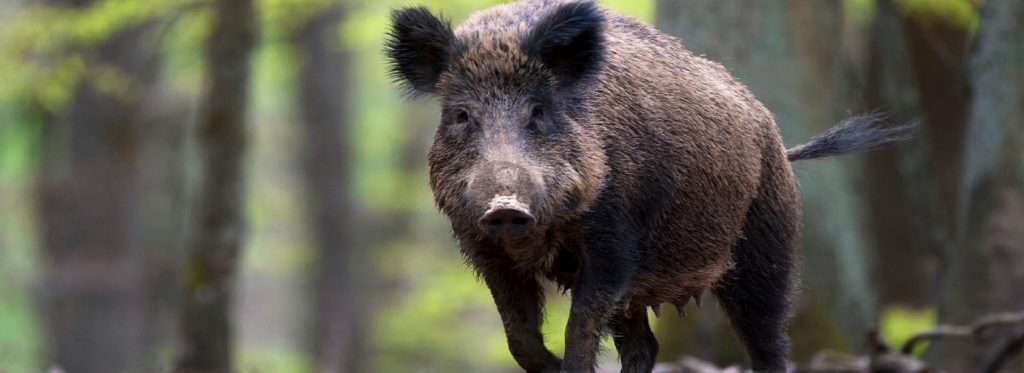Wild Boar (Sus scrofa) female walking through forest, Europe