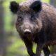 Šta se dešava sa divljim svinjama?