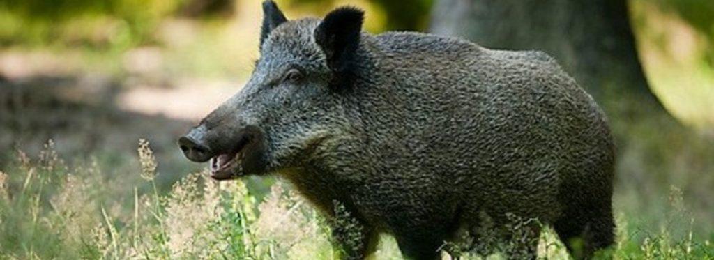 divlje svinje
